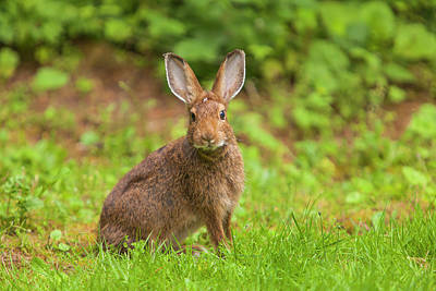 Watchful Snowshoe Hare In Summer Phase Poster by Michael Qualls