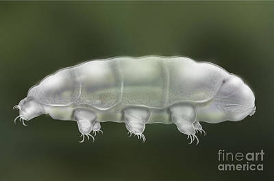 Water Bear Tardigrada - Waterbear Tardigrade  - Scientific Illustration Poster by Urft Valley Art