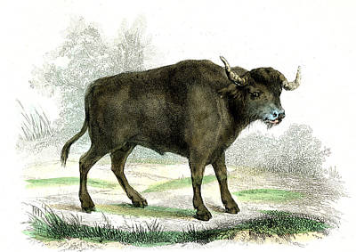 Water Buffalo Poster by Collection Abecasis