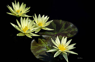 Water Lilies In Yellow Poster by Julie Palencia