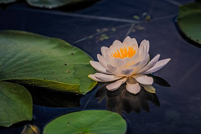 Water Lily Poster by Paul Freidlund
