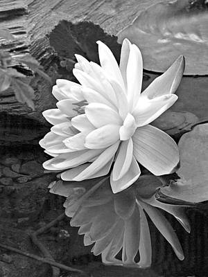 Water Lily Reflections In Black And White Poster by Gill Billington
