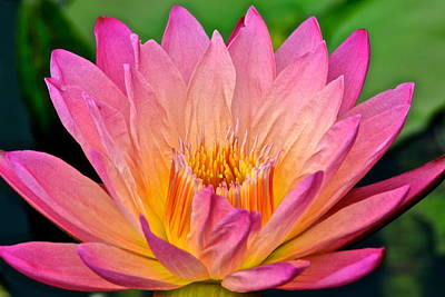 Water Lily Poster by Frozen in Time Fine Art Photography