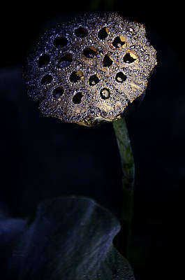 Water Lily Seed Pod Poster by Julie Palencia