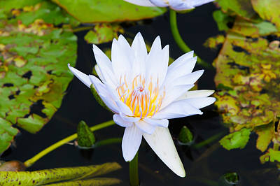 Water Lily With Lily Pads In A Pond Poster by Panoramic Images