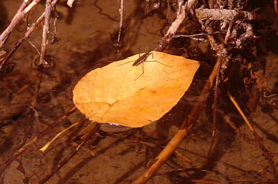 Water Strider On A  Leaf Poster by Jeff Swan