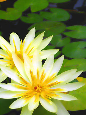 Waterlilies In Pond Poster by Amber Nissen
