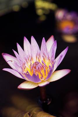 Waterlily (nymphaea Capensis) Flower Poster by Adrian Thomas