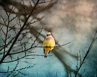 Waxwing At Winter Sunset Poster by Jai Johnson