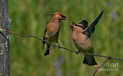 Waxwing Love.. Poster by Nina Stavlund