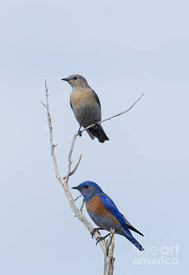 Western Bluebird Pair Poster by Mike  Dawson