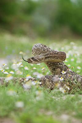 Western Diamondback Rattlesnake Poster by Larry Ditto