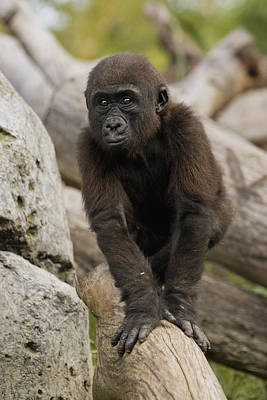 Western Lowland Gorilla Baby Poster by San Diego Zoo