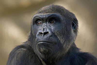 Western Lowland Gorilla Portrait Poster by San Diego Zoo