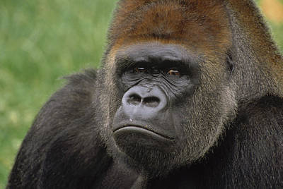 Western Lowland Gorilla Silverback Poster by Gerry Ellis