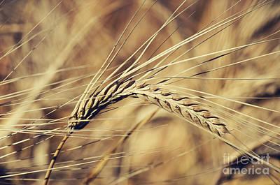 Wheat Poster by Jelena Jovanovic