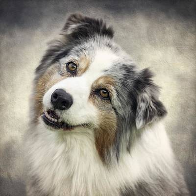 Australian Shepherd Portrait Poster by Wolf Shadow  Photography