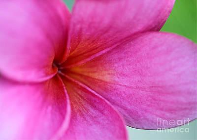 Whispering Pink Plumeria Poster by Sabrina L Ryan