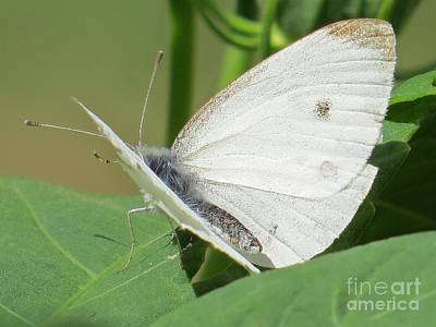 White Butterfly Poster by Judy Via-Wolff