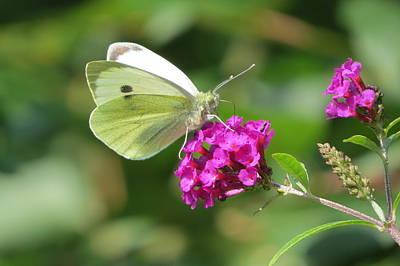 White Butterfly On Buddleja Poster by B Vesseur