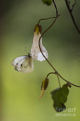White Butterfly With Dots Sitting On The Branch Poster by Jaroslaw Blaminsky
