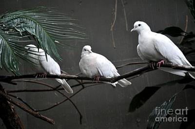 White Dove Poster by Mandy Judson