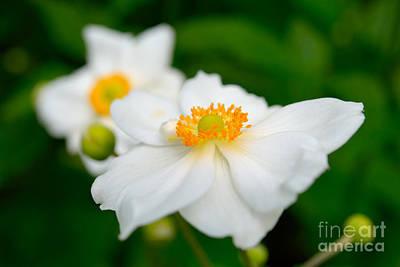 White Dreamy Flowers Poster by Terry Elniski