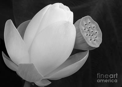 White Lotus Before And After Poster by Sabrina L Ryan