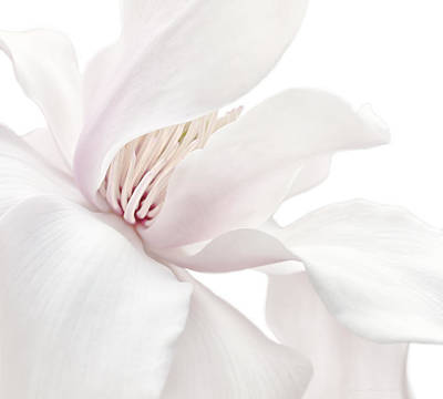 Shy White Magnolia Blossom  Poster by Jennie Marie Schell