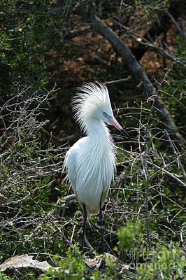 White Morph Of Reddish Egret Poster by Gregory G. Dimijian