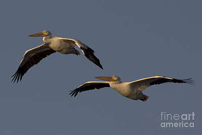 White Pelican Photograph Poster by Meg Rousher