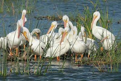 White Pelicans Resting Among Poster by Maresa Pryor
