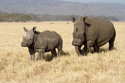White Rhino Calf Poster by Chris Scroggins