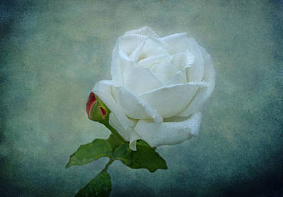 White Rose On Blue Poster by Sandy Keeton