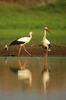 White Stork (ciconia Ciconia) Poster by Photostock-israel