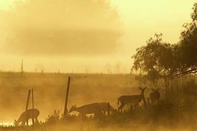 White-tailed Deer Crossing Water Poster by Maresa Pryor