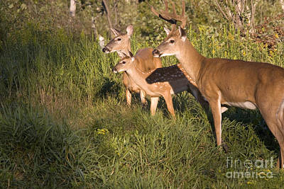 White-tailed Deer Family Poster by Linda Freshwaters Arndt