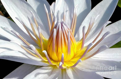 White Waterlily Poster by Kaye Menner