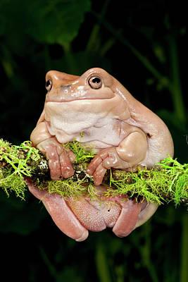 White's Treefrog, Litoria Caerulea Poster by David Northcott