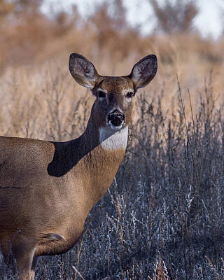 Whitetail Doe Keeping Watch Poster by Ernie Echols