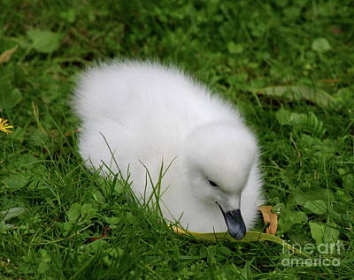 Whooper Swan Juvenile  Poster by Christiane Schulze Art And Photography