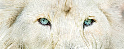 Wild Eyes - White Lion Poster by Carol Cavalaris