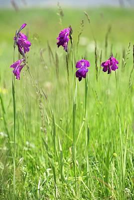 Wild Gladiolus (gladiolus Kotschyanus) Poster by Bob Gibbons