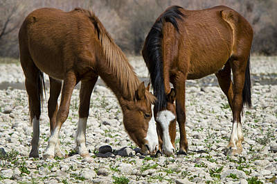Wild Horses Grazing  Poster by Saija  Lehtonen