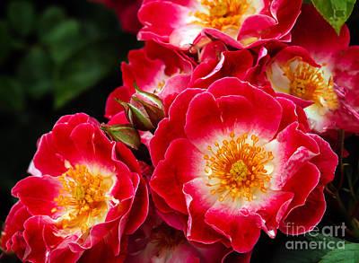 Wild Rose Poster by Robert Bales