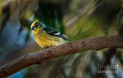 Winter American Goldfinch Poster by Robert Bales