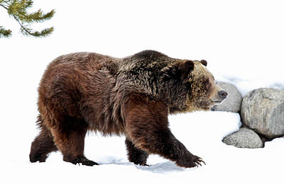 Winter Bear Walk Poster by Athena Mckinzie