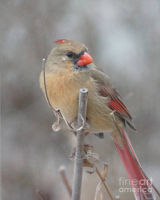 Winter Cardinal - Female Poster by Robert E Alter Reflections of Infinity