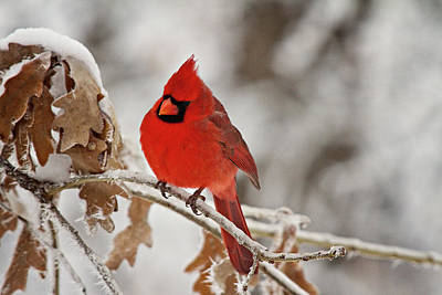 Winter Northern Cardinal Poster by Lana Trussell