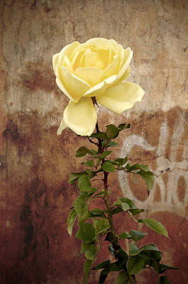 Winter Rose Poster by RicardMN Photography